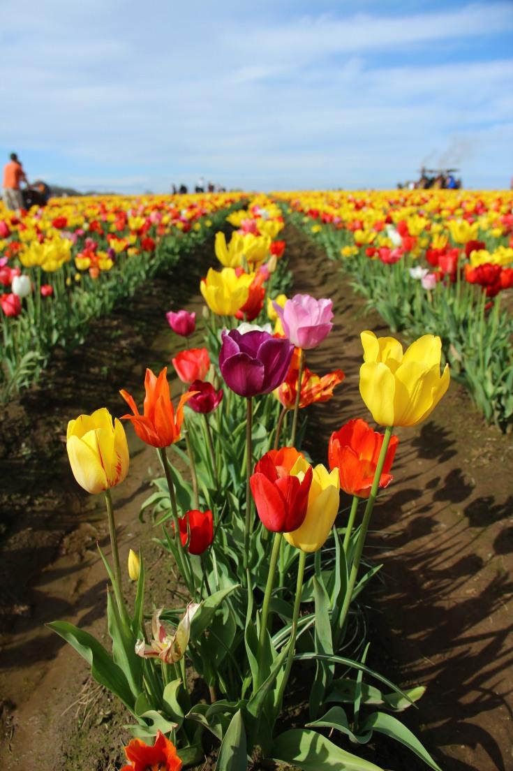 Woodburn Tulip Festival